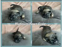 RARE PLATINUM PUG PUPPIES