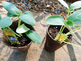 Organic Garden Veg Plants 🌿
