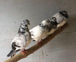 Pigeons de races
