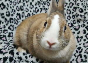 Very Pretty & Sweet!  Blue-eyed Dwarf Female Bunny  ❤ Bridget ❤