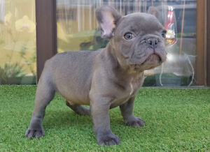 Blue  french bulldog puppy for sale