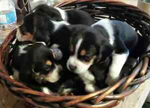 CHIOTS BEAGLES PUR RACE