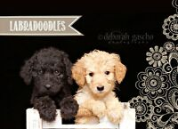 REDUCED PRICE on OUR LABRADOODLE Puppies FOR SALE!