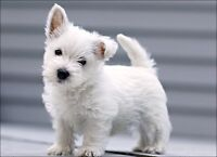 Looking for a male westie