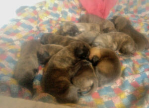 Large Cane Corcxer puppies, admired hybrid