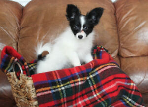 Papillon Puppies - Purebred, CKC Registered