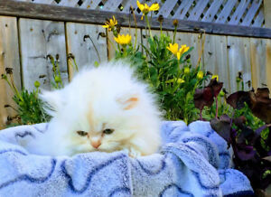 Beauitful Purebred Persian Kittens