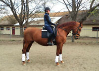 Wonderful Temperament Warmblood mare