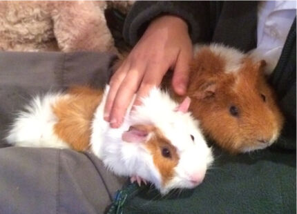3 male guinea pigs Thornleigh Hornsby Area Preview