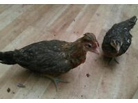 3 young chicken hens £25