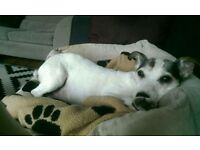Super sweet Jack Russell needs new foster home
