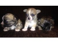 3 Beautiful Chihuahua puppies