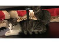 Two kittens for sale one male and one female