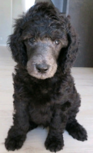 Silver Standard Poodle Male - 6 weeks old