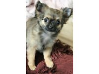 Kc Reg Long Haired Chihuahua Girl #3 Fawn Sable