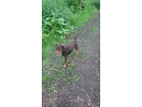 1yr old male Patterdale type crossbreed
