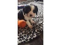2 Cavalier King Charles Puppies (boys) For Sale
