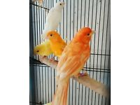 HIGH & STRONG QUALITY Canary Birds [£25/£30 EACH] For Sale + Cages From £20