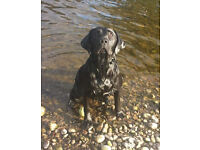 KC REG DRAKESHEAD LABRADOR 3 YEARS OLD LOVELY TEMPERAMENT, AFFECTIONATE, WELL TRAINED AND OBEDIENT