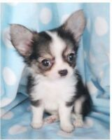 Looking for Chihuahua Puppy