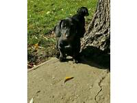 Miniature Dachshund Boy