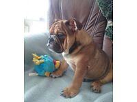 English Bulldog Boy for sale