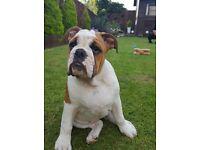 English Bulldog, LAST ONE!!!