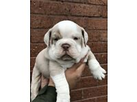 beautiful British bulldog