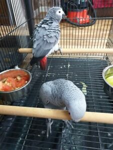 African grey Parrots Pairs