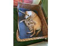 Labrador Puppies, Yellow, Impeccable Lab Pedigrees