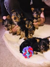 Only 3 Adorable Yorkie Girls Left (ready To Go!)