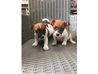 Jack Russell cross chihuahua puppies