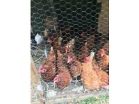 4 Hen and 1 Rooster for sale
