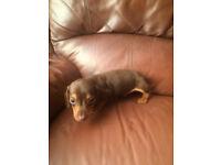 Adorable Dachshund Pups