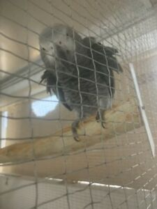 Breeding Pairs Of African Grey Parrots