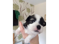 Gorgeous Havaness Puppy For Sale