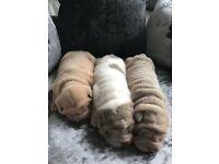 3 shar pei pups