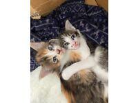 Beautiful Half Siamese Kittens