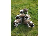 St Bernard puppies for sale 5weeks old, Kc registered,chipped and vaccinated ready to leave in 3 wks
