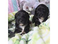 Very unique havanese/tibetan terrier puppies available