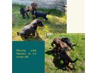 Fabulous Dobermann Puppies