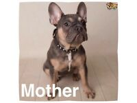 Excellent ATAT Blue & Tan French Bulldogs, Males & Females