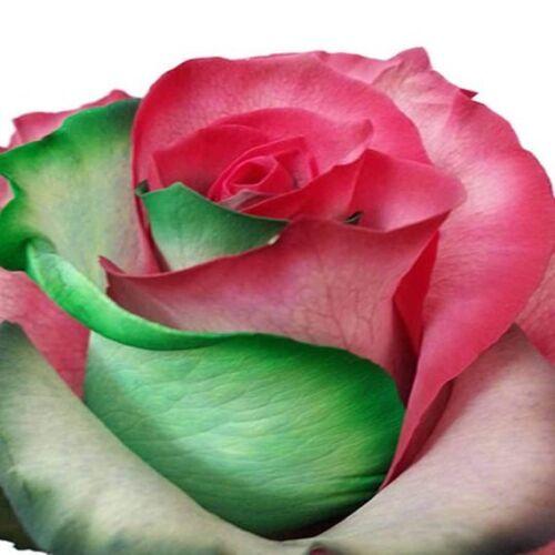 RAINBOW ROSES - FRESH CUT Wholesale, Bulk, Event, Holiday, School, Birthday, DIY