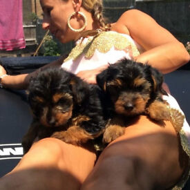 GG Yorkie Terrier available