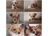 Beautiful Chihuahua Puppies **READY ON FRIDAY**