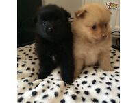 3 Gorgeous Pomeranian Puppies 2 Girls 1 Boy