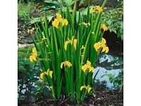 Water iris pond plants