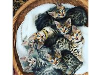 READY NOW 2 BENGAL FEMALE GIRLS - BROWN SPOTTED TICA REG