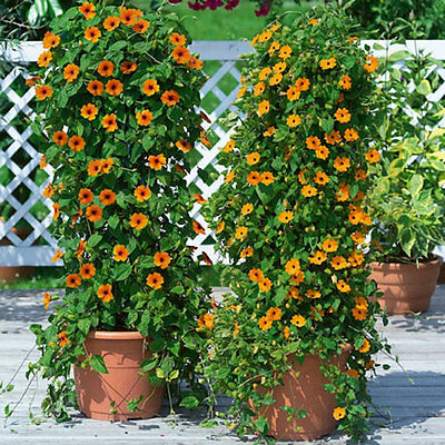40+BLACK EYED SUSAN VINE Flower Seeds Easy to Grow 8ft Climber Garden/Container