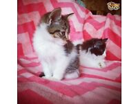 ****beautiful Litter Of Maine Coon X Russian ****